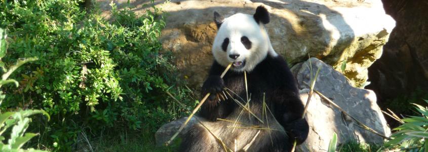 Panda au ZooParc de Beauval, beauval, zooparc de beauval, zoo beauval, beauval route des vins loire, route des vins loire itinéraire