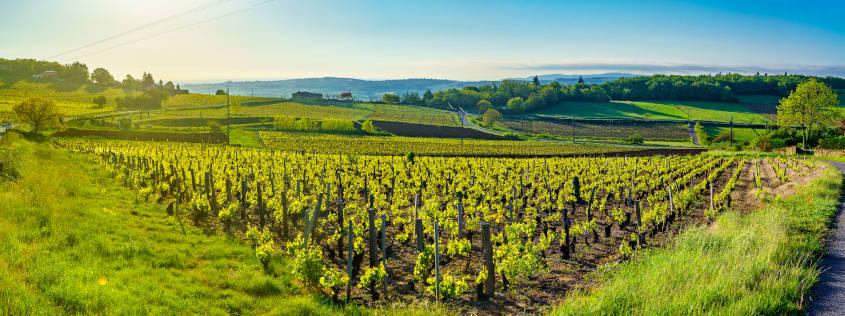 vigne, beaujolais, vignoble, vin, vert