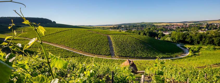 visiter chablis, vigne, vignoble