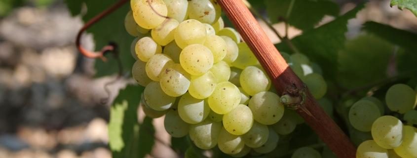 Cépage du vignoble de Chablis