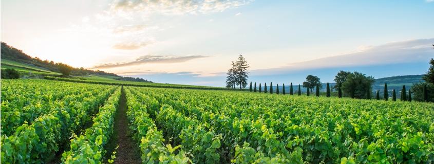 Vignoble Cote de Beaune Bourgogne