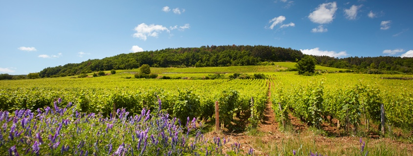 Vignoble Côte de Nuits Bourgogne