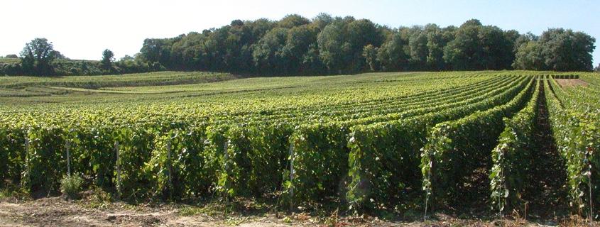 vignoble montagne de reims champagne